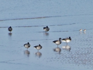 Brent geese birds, Hilbre island, West Kirby, Wirrel